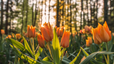 Orange tulips in sunrise