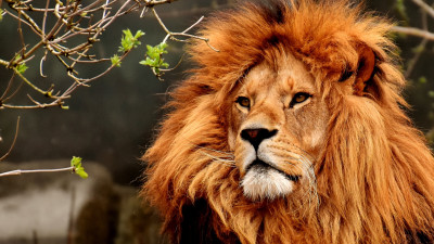 Best lion male portrait