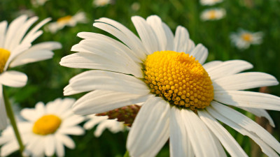 Natural daisy flowers
