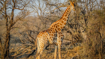 Wild giraffe in African safari