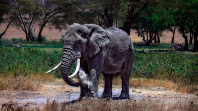 Large elephant in Serengeti National Park