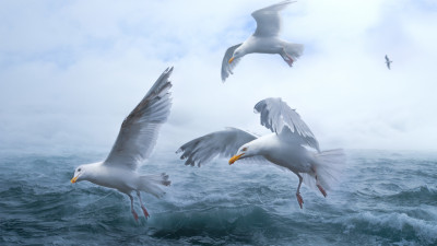 Seagulls above sea waves