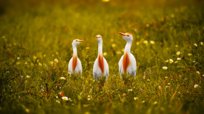 White and orange storks