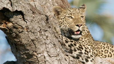 Wild leopard from tree