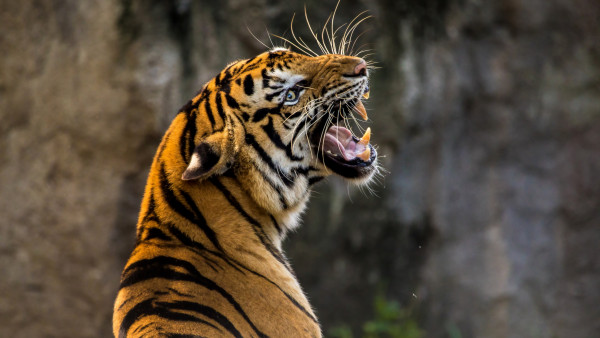 Angry Tiger Hd Wallpaper 1920x1080 4k Picture 3840x2160