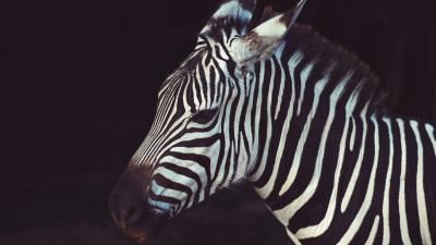 Zebra portrait from Greeneville Zoo, USA