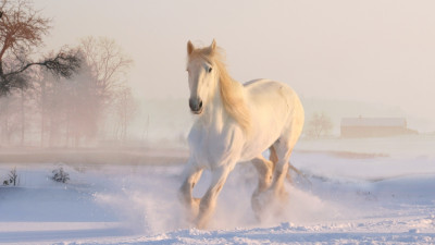 White horse running through snow