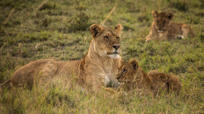 Lioness with cubs from Serengeti