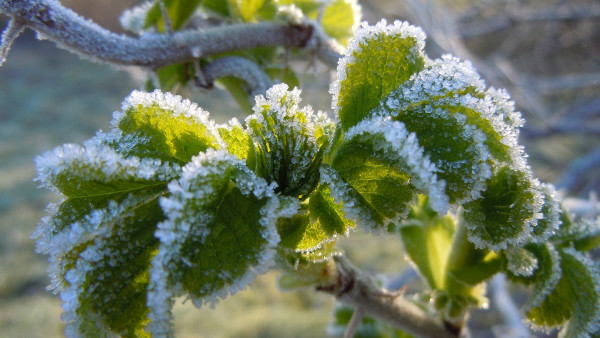 Green frozen leaves