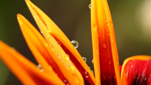 Dew on orange petals