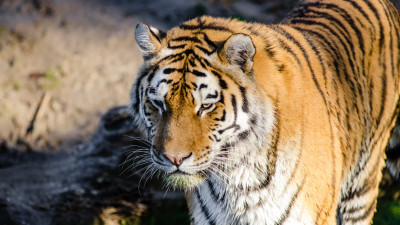 Siberian tiger at Zoo