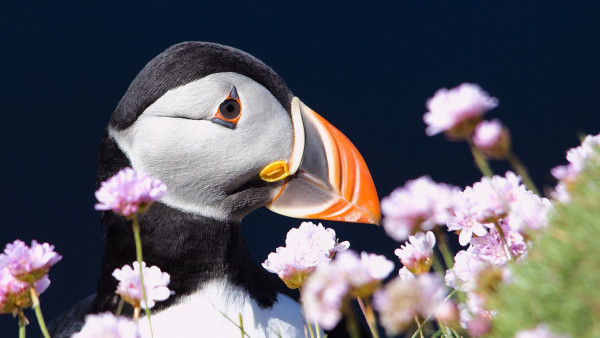 Puffin from Shetland archipelago