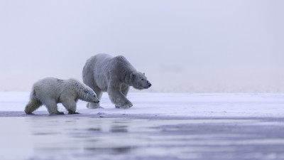 Polar bears: mother and cub