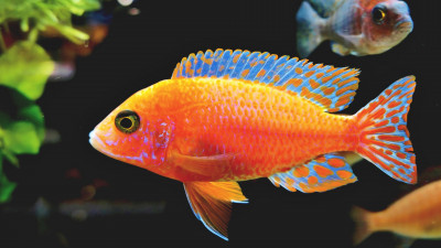 Fairy Wrasse fish