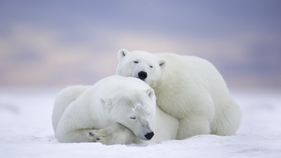 Wild polar bears in Alaska