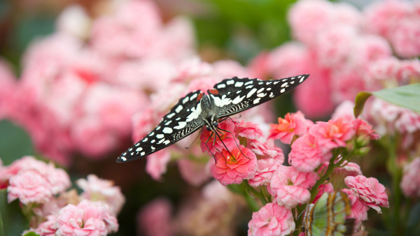 Black butterfly on pink flowers
