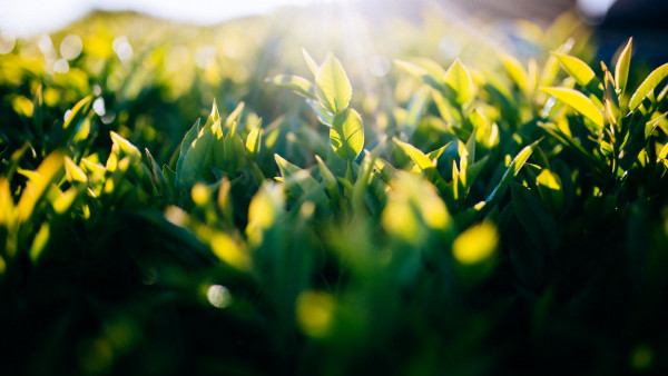 Sun Light Between Green Leaves