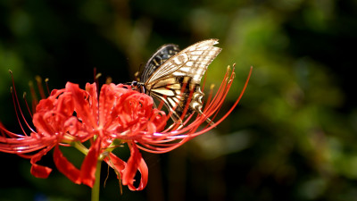 Butterfly on Lycoris Radiata flower
