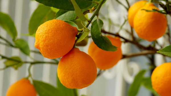 Natural oranges