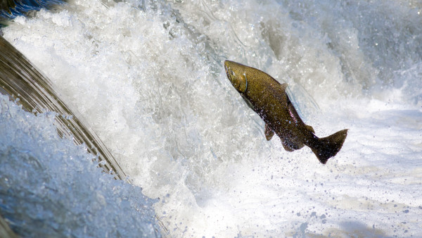 Salmon jumping over waterfall