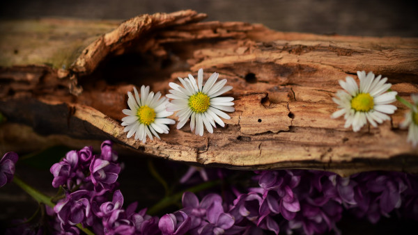 Old wood, lilac and daisy flowers