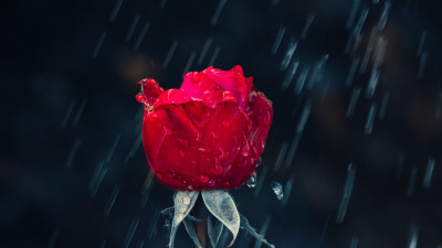 Red rose and raindrops