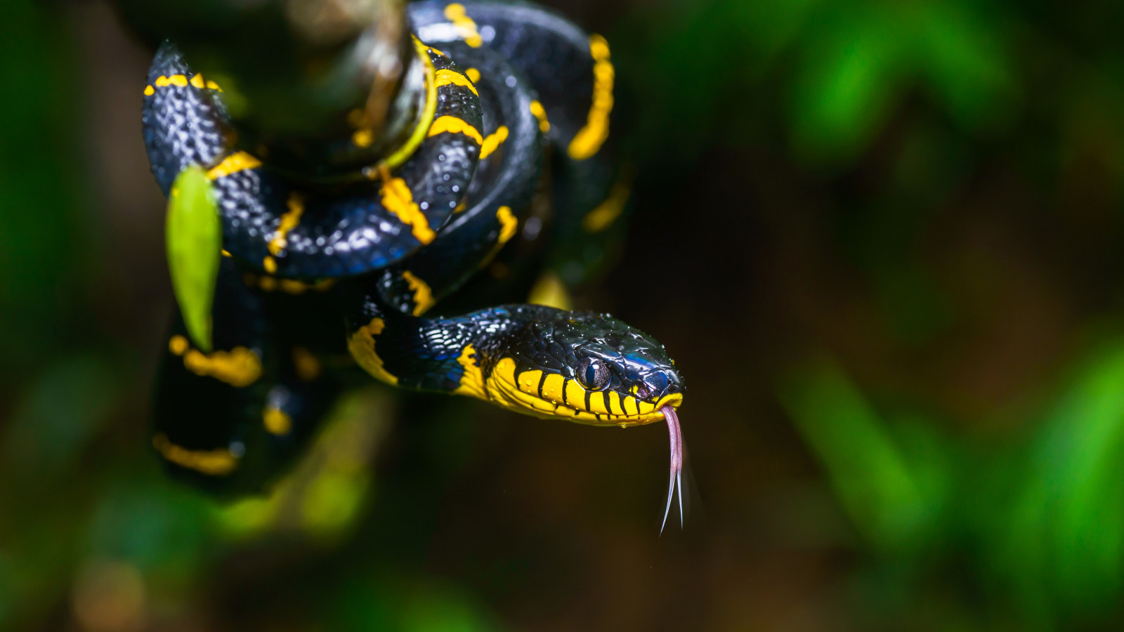 Mangrove snake | 1600x900 wallpaper