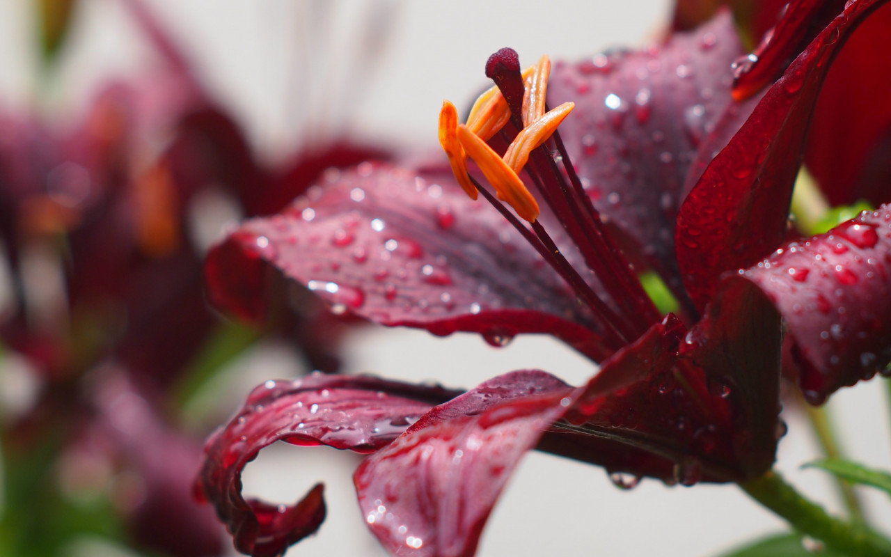 Lily flower and water drops | 1280x800 wallpaper