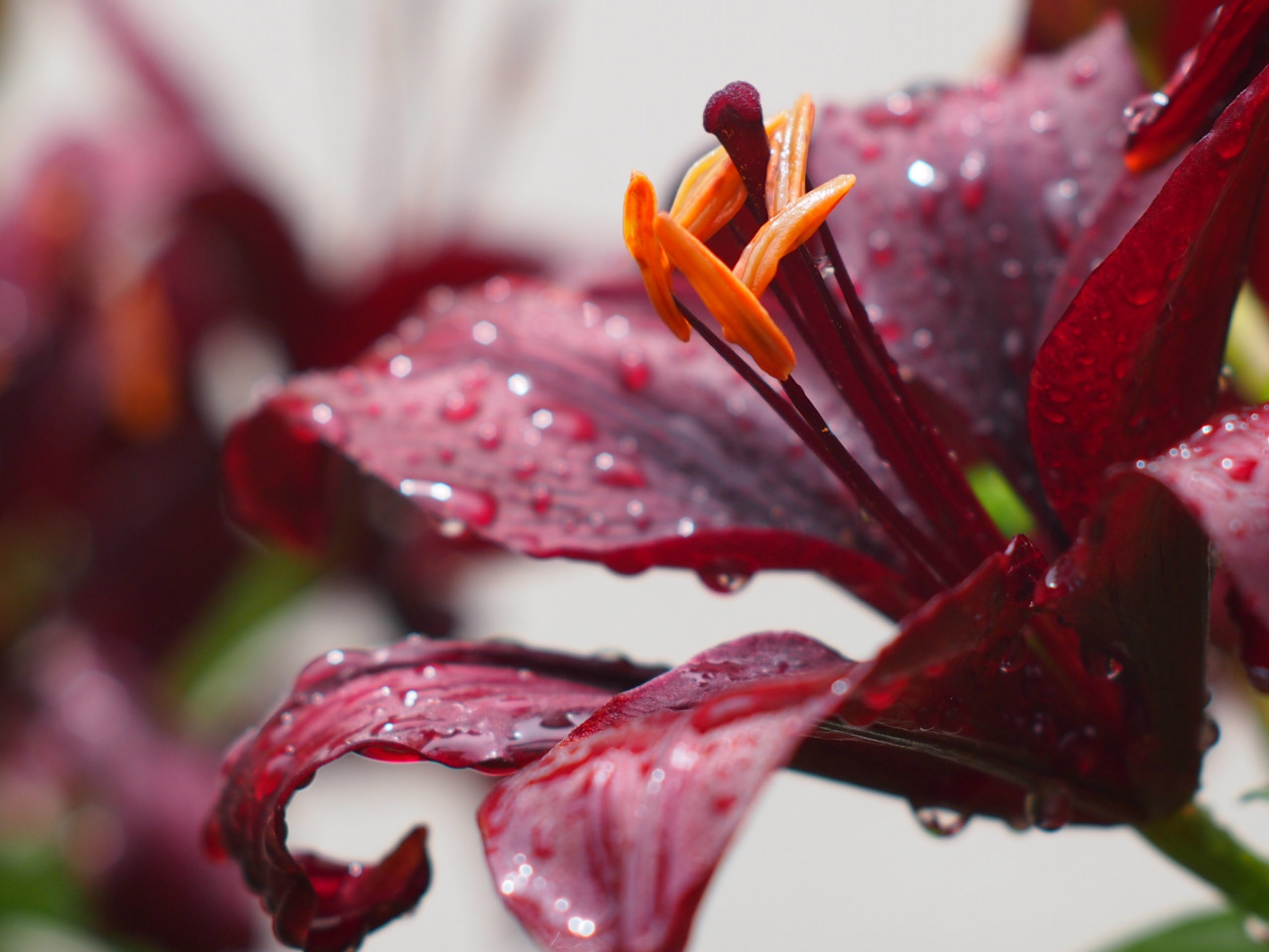 Lily flower and water drops | 1280x960 wallpaper