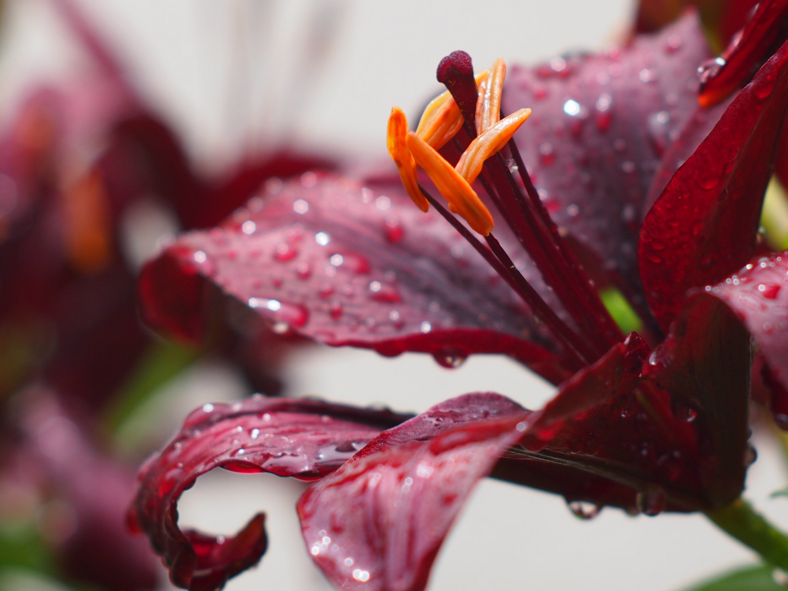 Lily flower and water drops wallpaper 1600x1200