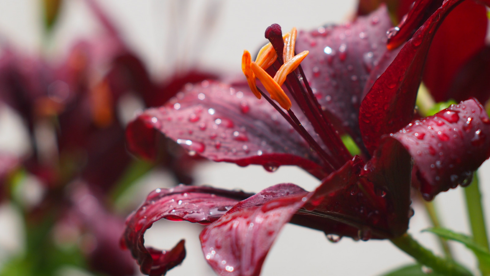 Lily flower and water drops | 1600x900 wallpaper
