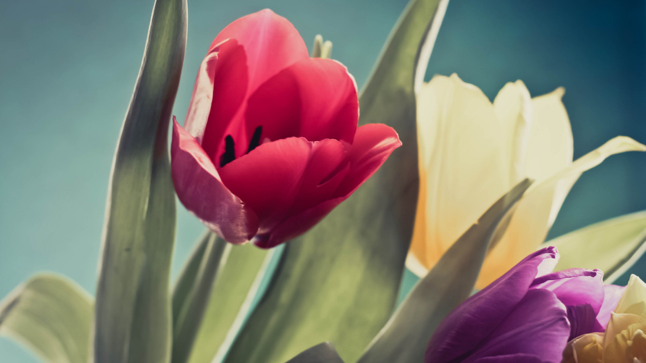 Red, purple and yellow tulips | 1280x720 wallpaper