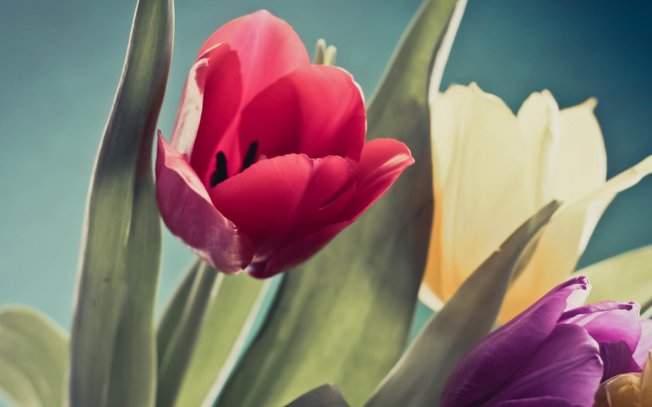Red, purple and yellow tulips wallpaper 1280x800