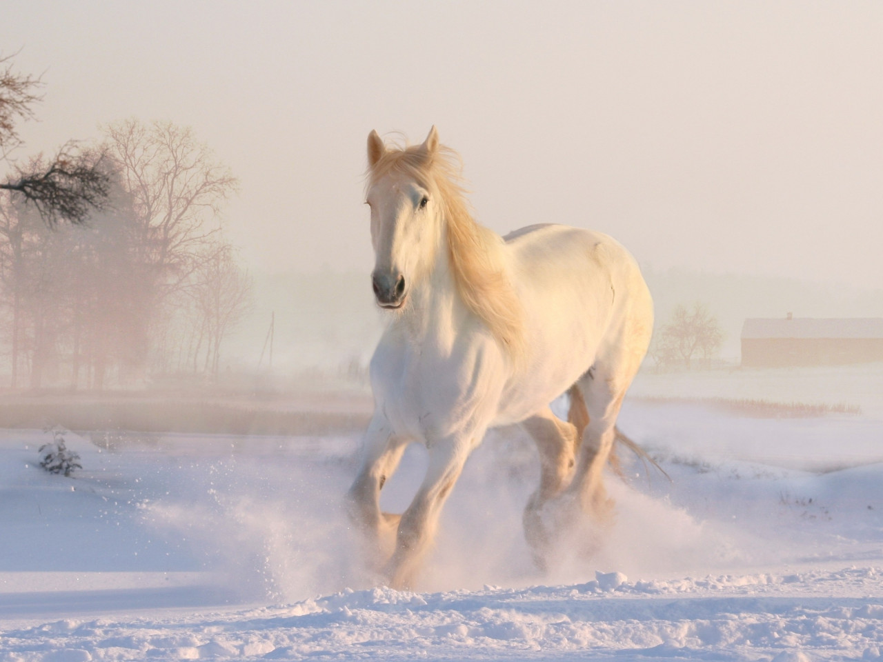 White horse running through snow wallpaper 1280x960