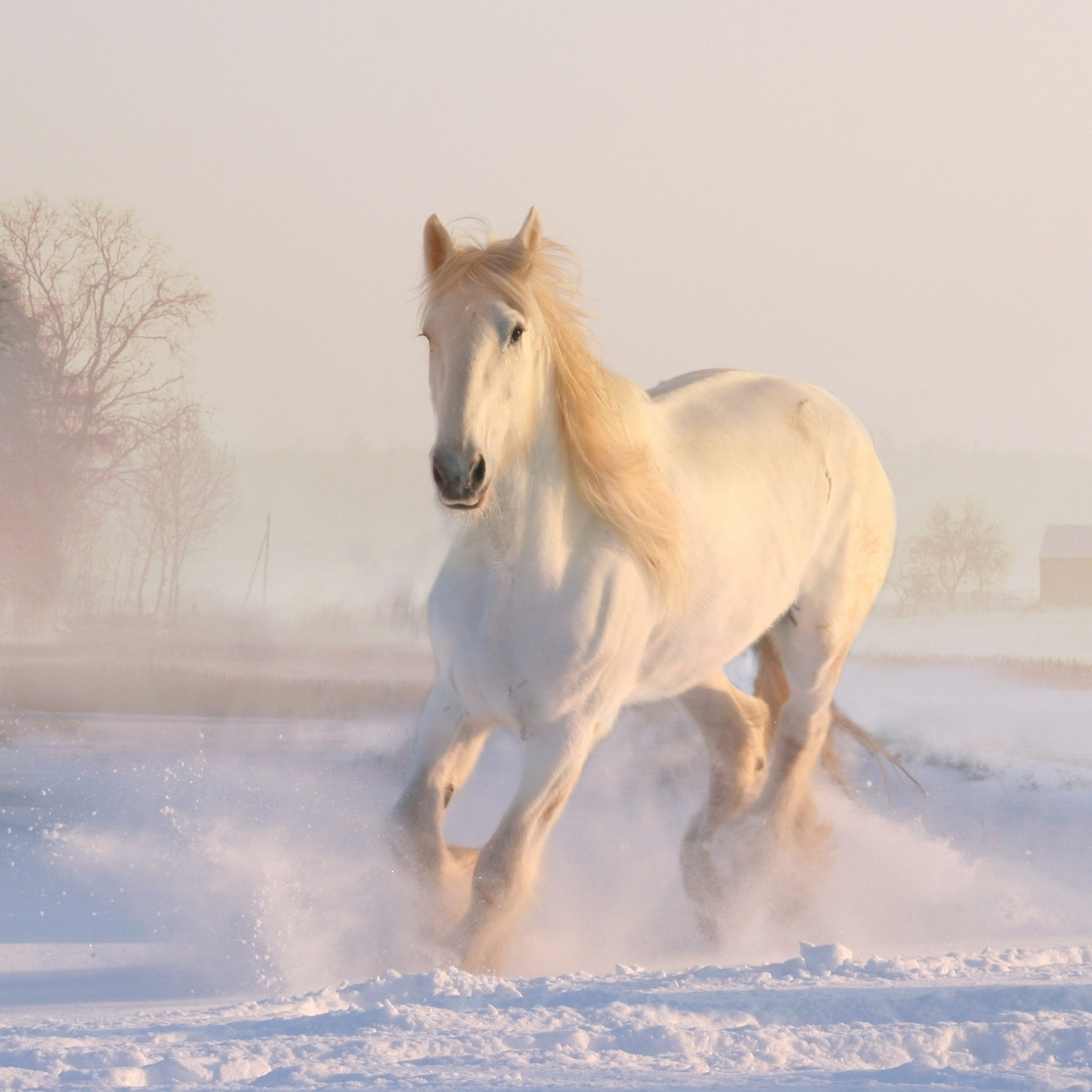White horse running through snow wallpaper 2224x2224