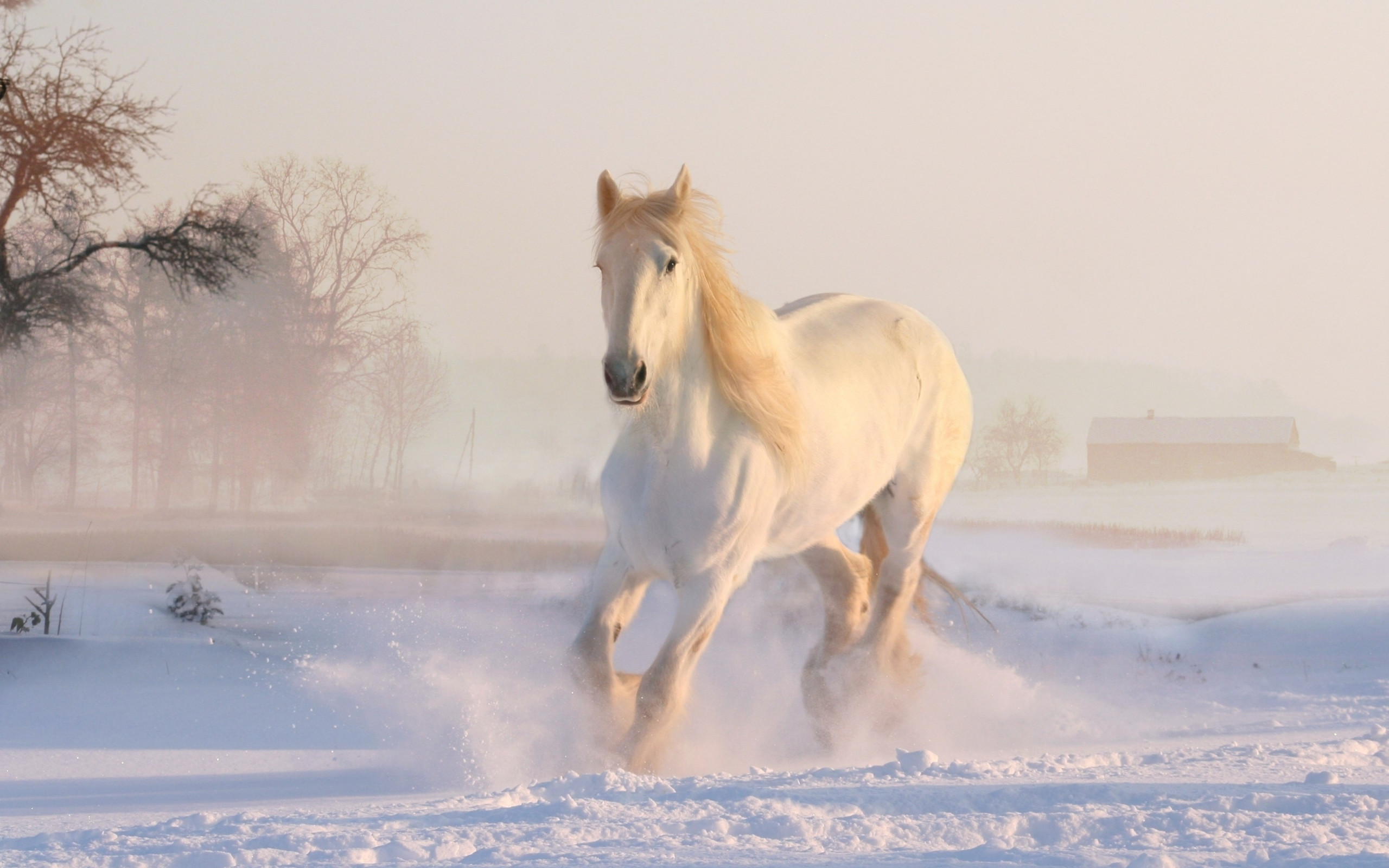 White horse running through snow wallpaper 2560x1600