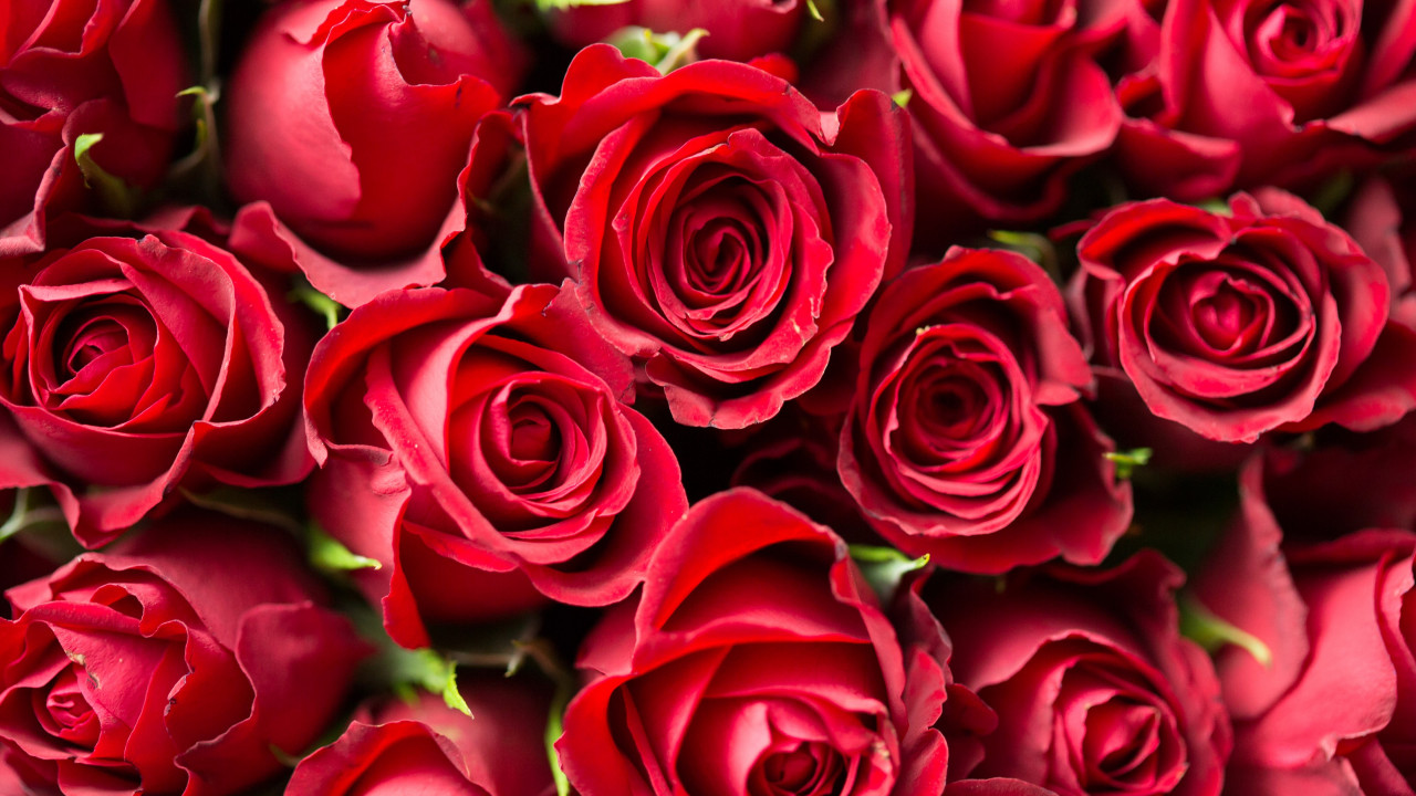 Lots of red roses wallpaper 1280x720