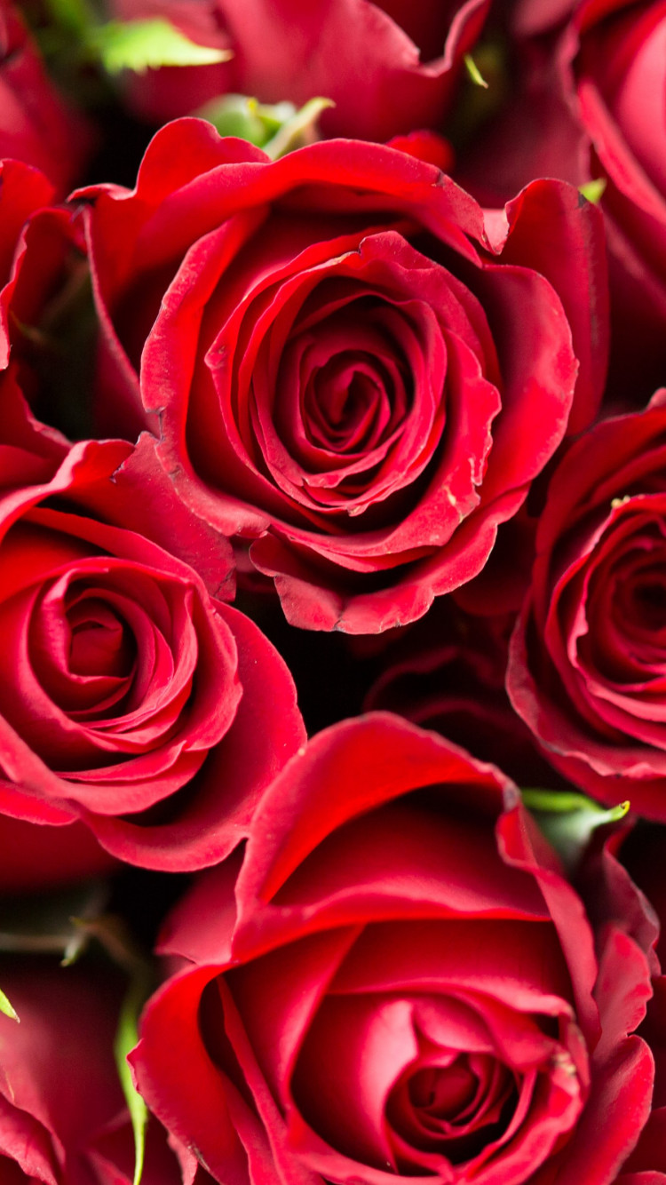 Lots of red roses wallpaper 750x1334