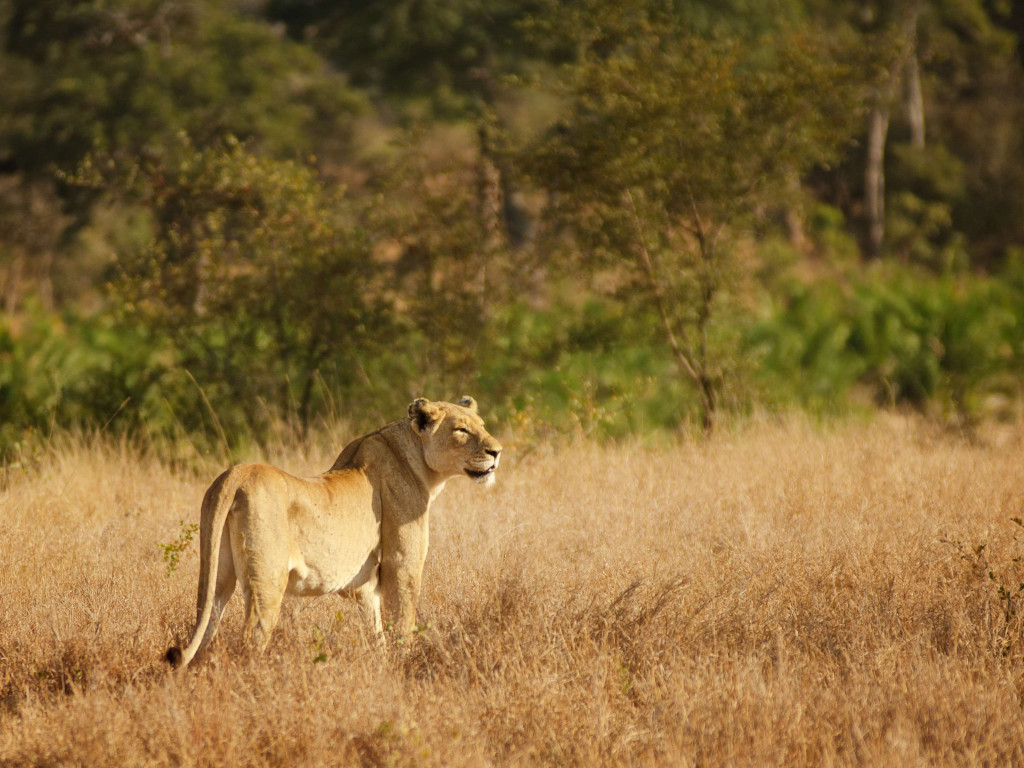 Lioness in Kruger National Park wallpaper 1024x768