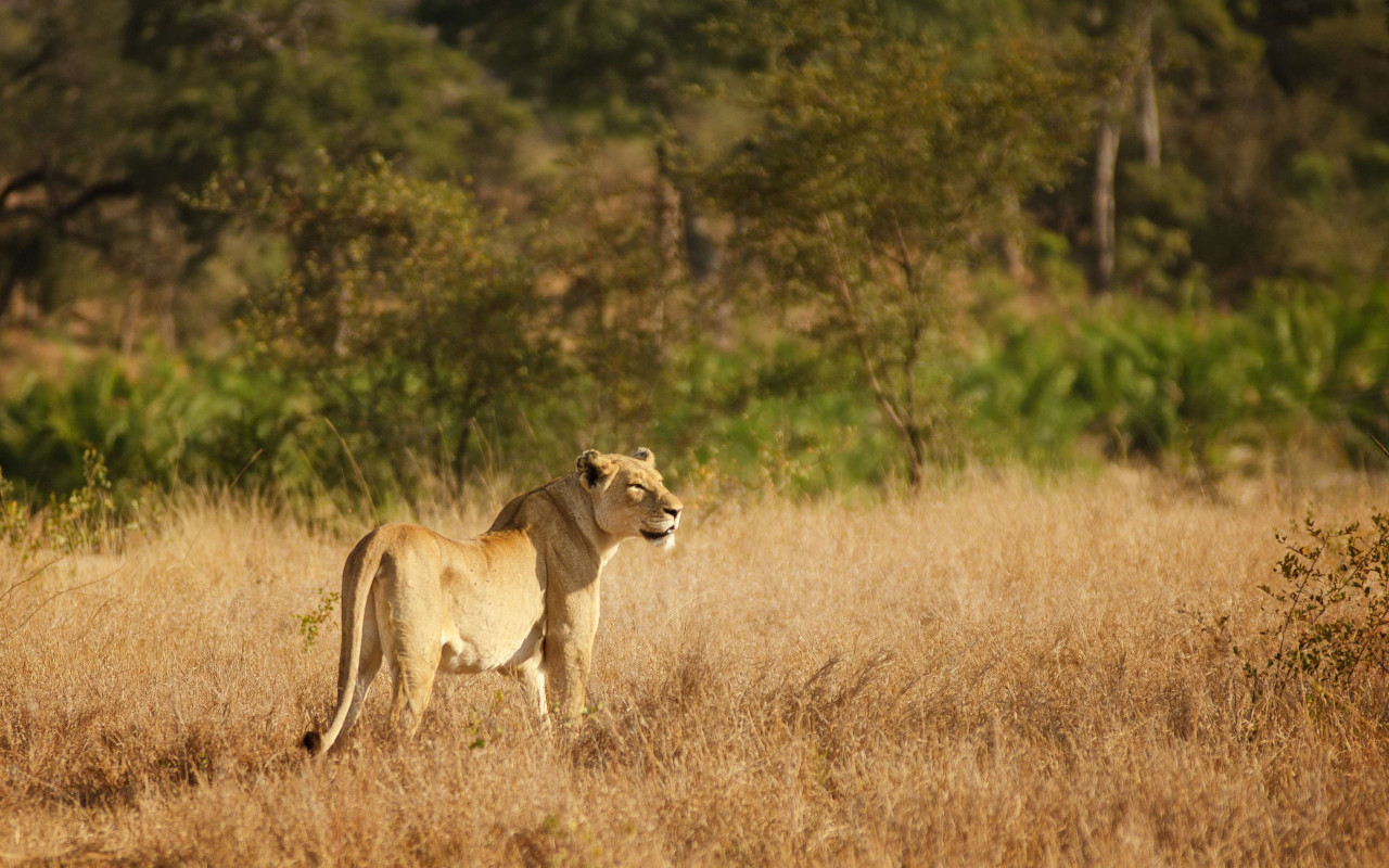 Lioness in Kruger National Park | 1280x800 wallpaper