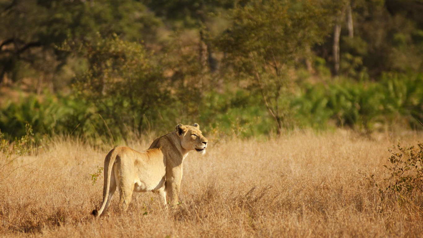 Lioness in Kruger National Park | 1366x768 wallpaper