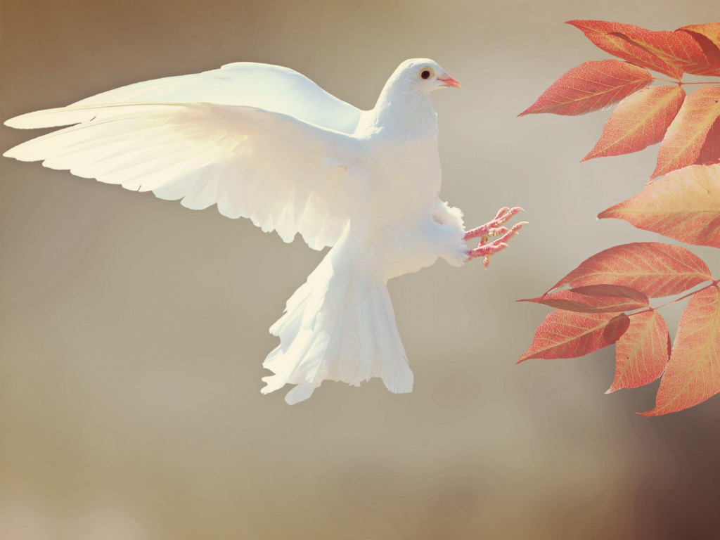 White Dove wallpaper 1024x768