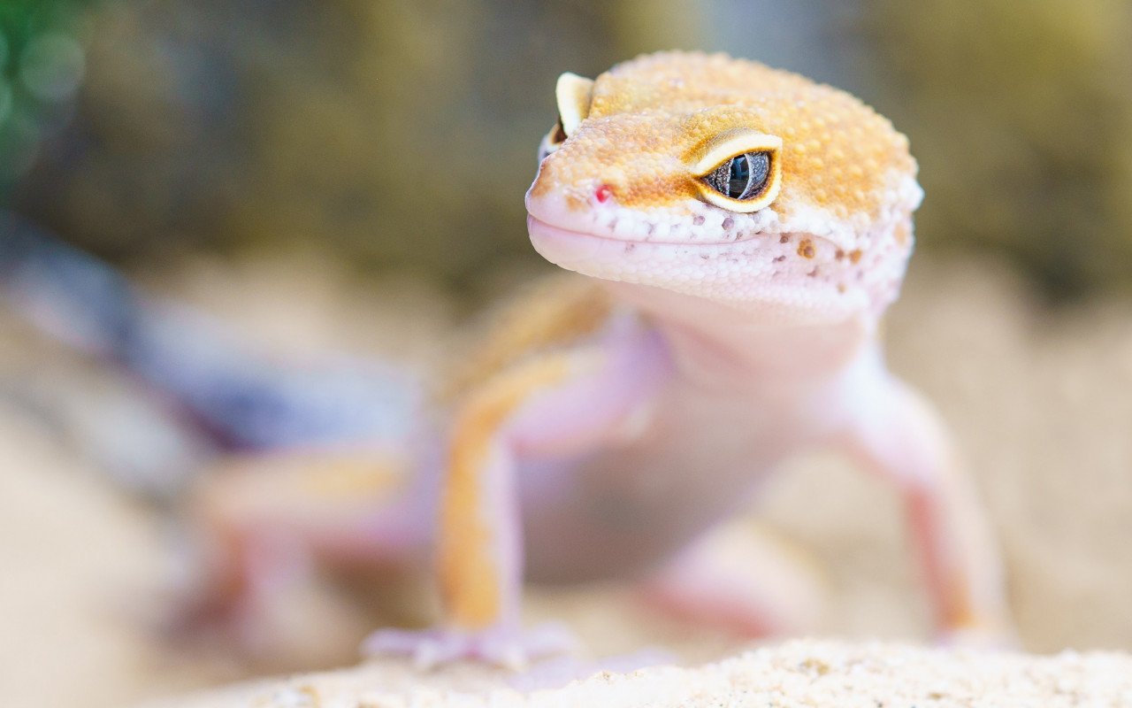 Gecko portrait wallpaper 1280x800