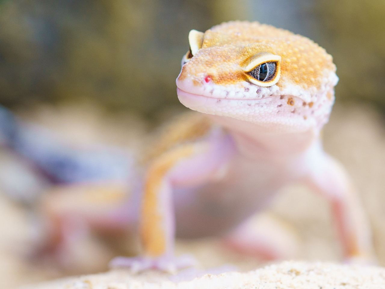 Gecko portrait wallpaper 1280x960