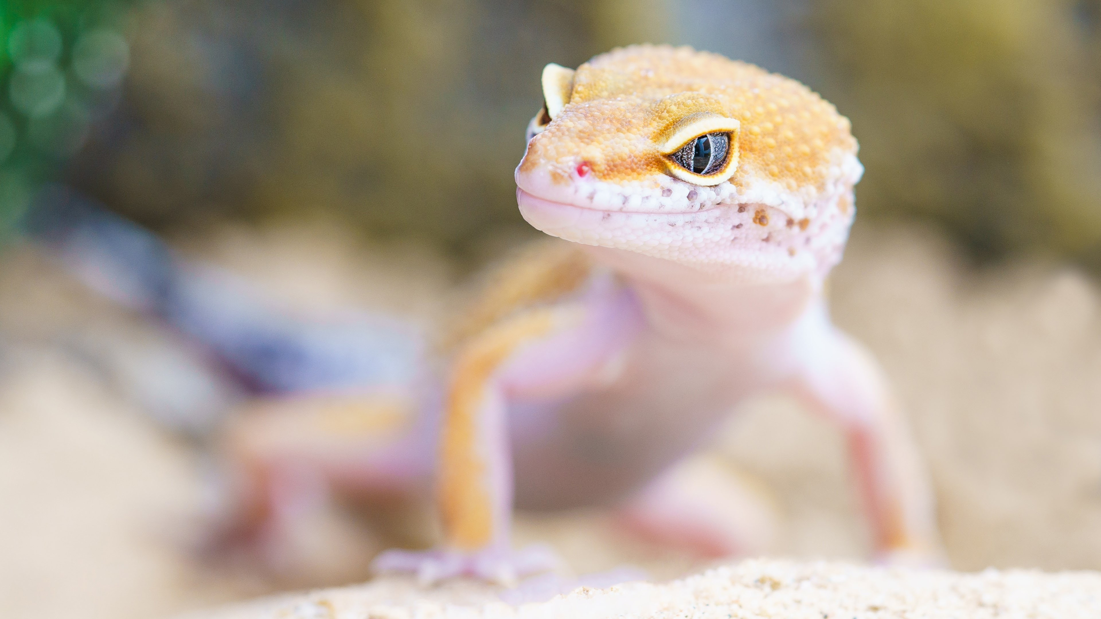 Gecko portrait wallpaper 3840x2160