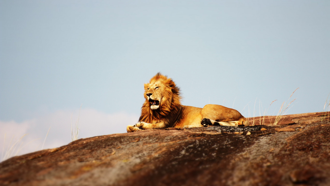 Lion in Serengeti National Park wallpaper 1366x768