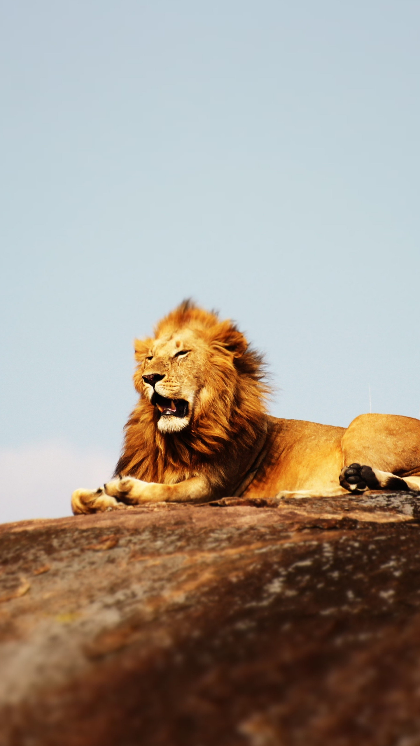 Lion in Serengeti National Park wallpaper 1440x2560