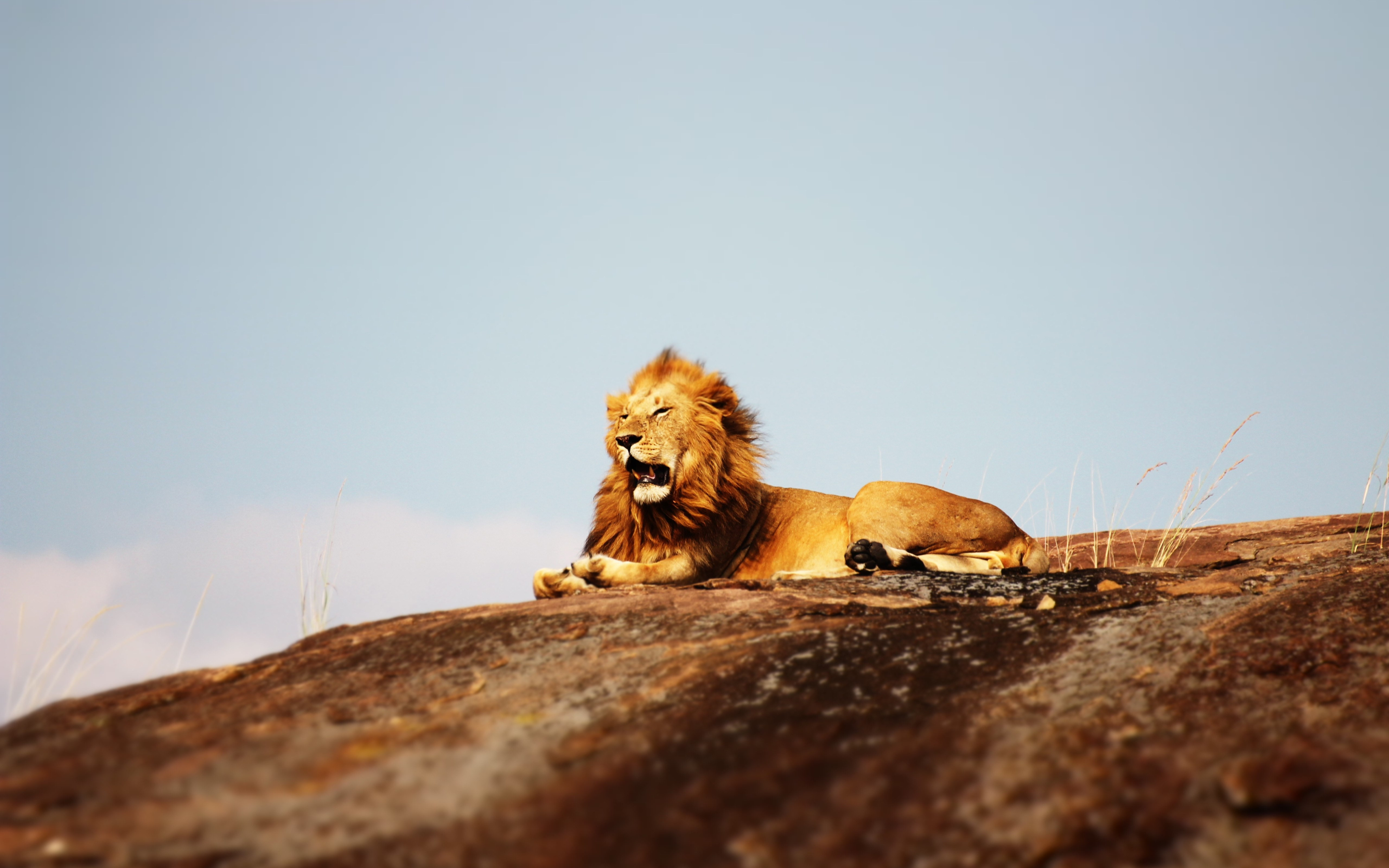 Lion in Serengeti National Park wallpaper 5120x3200