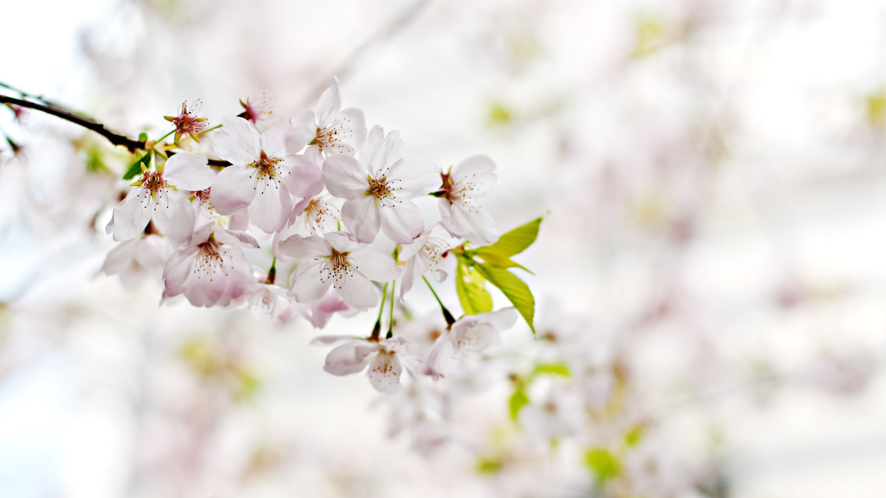 Cherry Blossoms. Flowers of Spring wallpaper 1280x720