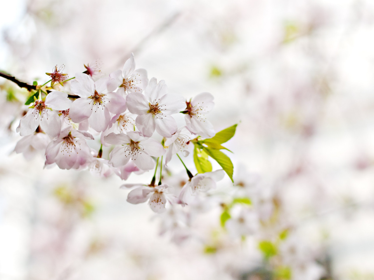 Cherry Blossoms. Flowers of Spring wallpaper 1280x960